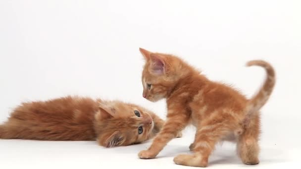 Red Tabby Domestic Cats