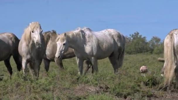divocí koně Camargue