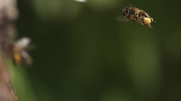 Europäische Honigbienen