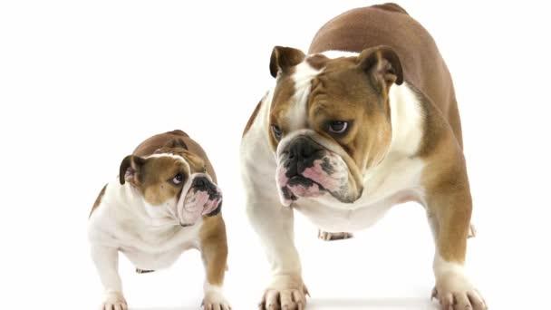 Angol bulldog fehér ellen