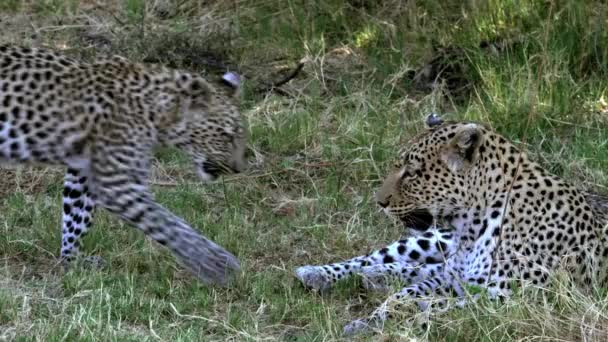 Adult Leopards laying on Grass