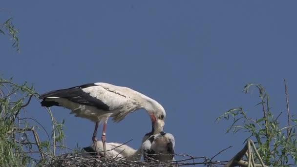 Čáp a mláďata na hnízdě