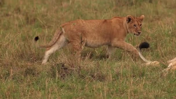 African Lions, Cub playing with Male