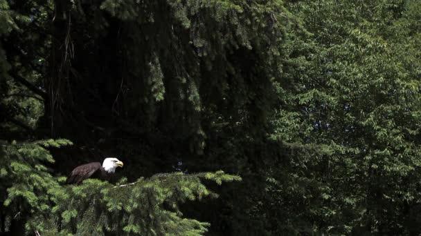 Weißkopf-Seeadler ausziehen aus Branch