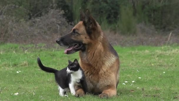 Black and German Shepherd Dog standing on Grass, Normandy, Real Time