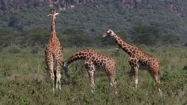 Rothschilds Giraffes walking through Savanna