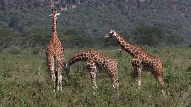 Žirafy Rothschildovy chůze přes savany