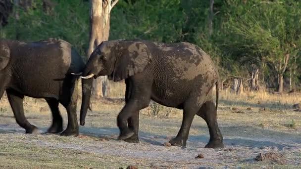 Gruppo di elefanti africani di camminare