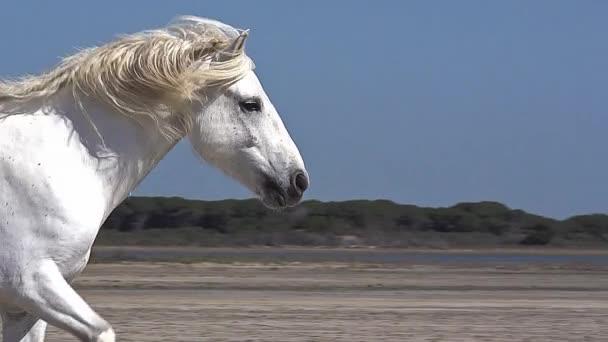 běh divoký Camargský kůň