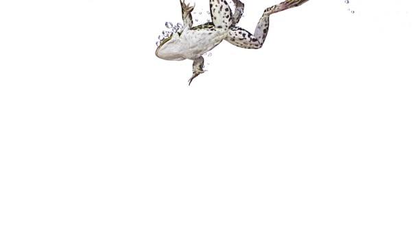 essbarer Frosch rana esculenta Schwimmen, Zeitlupe