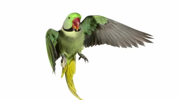 Alexandre Parakeet in Flight