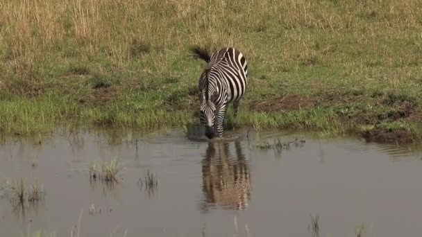 Zebra stepní, equus burchelli, dospělý vstupu vody, Park Masai Mara v Keni, reálném čase