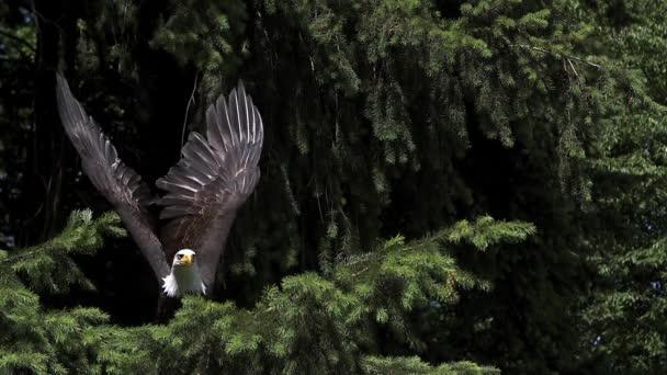 Bald Eagle levette a fióktelep