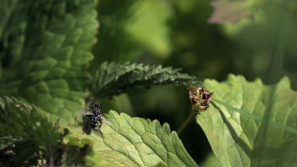 Fly standing on Leaf, Taking off, Slow motion