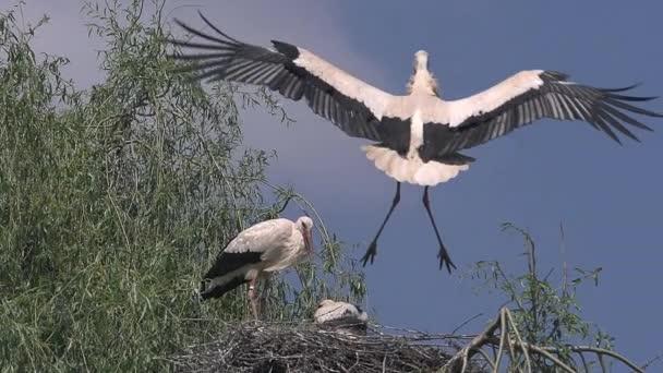 Čáp bílý, ciconia ciconia, pár a kočka stojící na hnízdo, v letu, v Alsasku ve Francii, pomalý pohyb