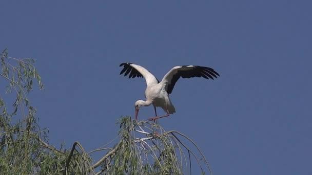 Fehér gólya, a ciconia ciconia, felnőtt csapkodó szárnyait, Elzász, lassú mozgás