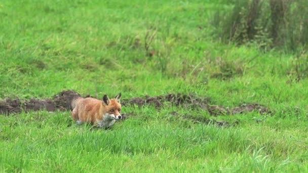 Červená liška běží na trávě