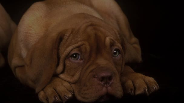 Bordeaux Mastiff Dog, Pup Laying down against Black Background, Real Time 4K, Moving image
