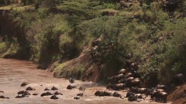 PAKŮŇ žíhaný, connochaetes taurinus, stádo přechodu řeky Mara během migrace, Park Masai Mara v Keni, reálném čase