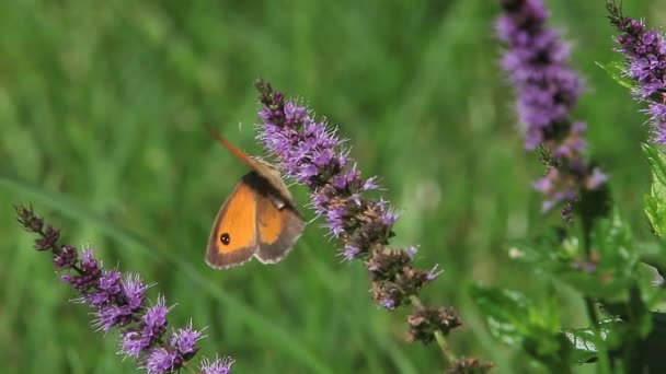 Gatekeeper Schmetterling Futterung Auf Sommer Flieder Stockvideo