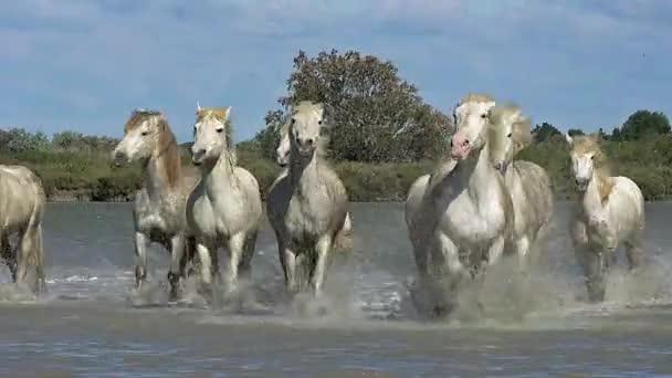 volně běžící koně Camargue