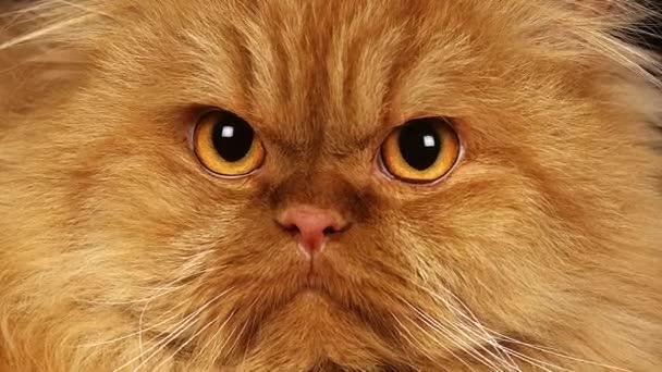 Rosso Auto Persiano Gatto Domestico Video Stock Slowmotiongli