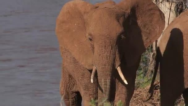 Az ivóvíz afrikai elefánt csoport