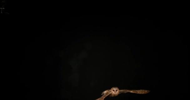 Schleiereule auf schwarzem Hintergrund
