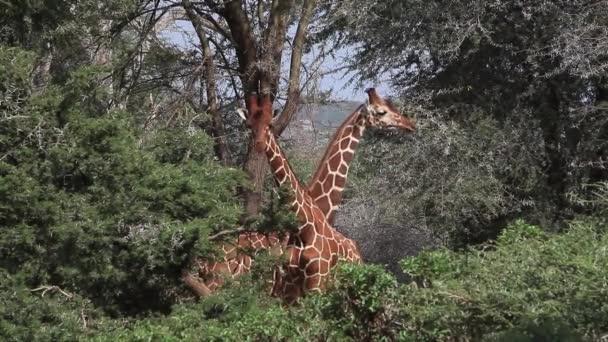 Síťovaná žirafy boj