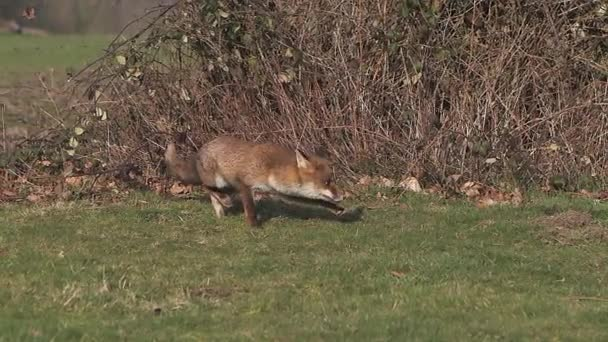 Red Fox running on Grass