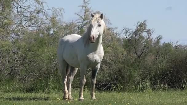Divoké Camargský kůň