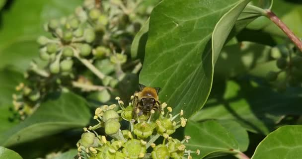 European Honey Bee, apis mellifera, Adult gathering pollen on Ivys Flower, hedera helix, Normandy, real Time 4K