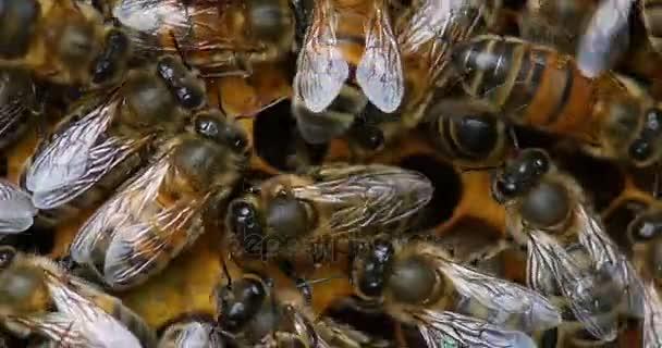 Včela, včela medonosná, pracovnice, inklinovat larvy na potomstvo hřeben, včelí úl v Normandii, reálném čase 4k