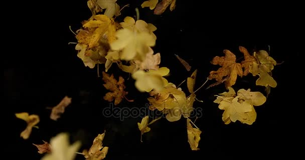 Autumn Leaves falling against Black Background, Slow motion 4K