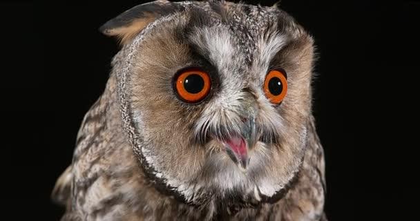hosszú füles owl