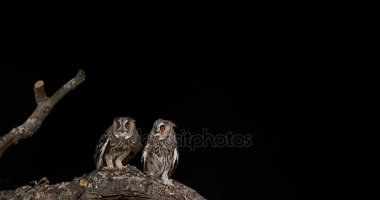 Long Eared Owls