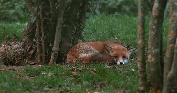 Liška obecná, vulpes vulpes, dospělé spací, Normandie, reálném čase 4k