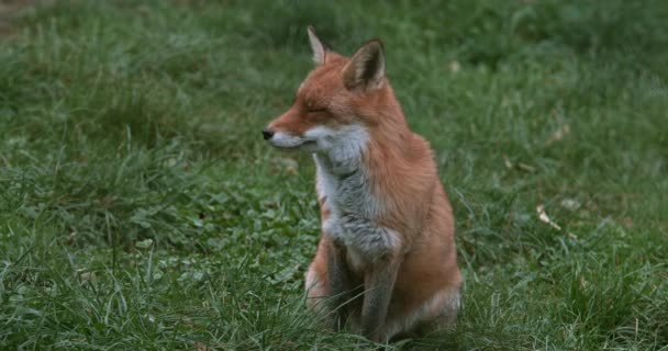 Red Fox, vulpes vulpes, Adult standing on Grass, Normandy, Real Time 4K