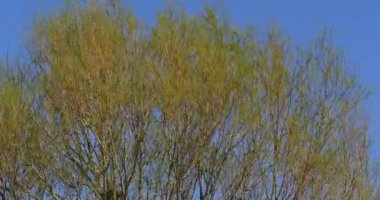 Pollard Willow, salix alba, Wind in the Leaves, Normandy, Real Time 4K
