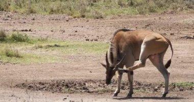 Cape Eland, taurotragus oryx, Male Scratching, Nairobi Park in Kenya, Masai Mara Park in Kenya, Real Time 4K