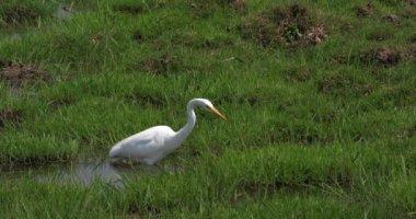 Great White Egret, egretta alba, Adult fishing in Swamp, Nairobi Park in Kenya, Real Time 4K