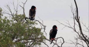 Bateleur Eagle, terathopius ecaudatus, Pair perched on the top of Tree, Masai Mara Park in Kenya, Real Time 4K