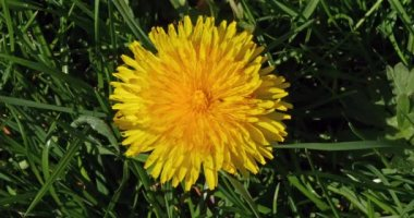 Flowers of Common Dandelion, taraxacum officinale, Normandy, Real Time 4K