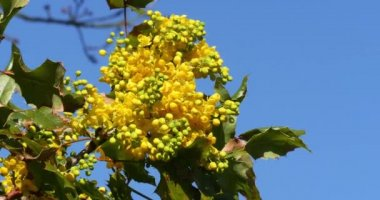 Yellow flowers mahonia stock video galkin57 155884396 hollyleaved barberry bloom mahonia garden normandy real time mightylinksfo