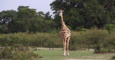 Maszáj zsiráf, giraffa camelopardalis tippelskirchi, felnőtt állandó Savanna, Masai Mara Park Kenyában, valós idejű 4k
