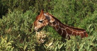 Hálós zsiráf, giraffa camelopardalis reticulata, felnőtt, étkezési levelek, Samburu park Kenyában, valós idejű 4k