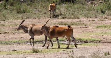 Cape Eland, taurotragus oryx, Nairobi Park in Kenya, Masai Mara Park in Kenya, Real Time 4K
