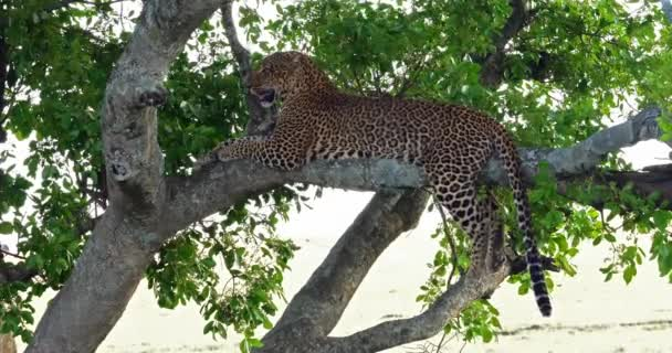 Leopard, panthera pardus, Adult standing in Tree, Masai Mara Park in Kenya, Real Time 4K