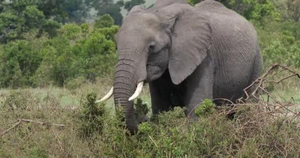 Slon africký, loxodonta africana, dospělé stravovací Bush, Park Masai Mara v Keni, reálném čase 4k
