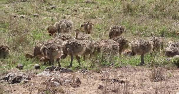 Struzzi, struthio camelus, pulcini passeggiando per Savannah, Parco nazionale di Nairobi in Kenya, tempo reale 4K